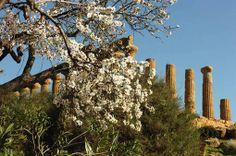 Agrigento, mandorli in fiore e folklore - In Viaggio - ANSA.it
