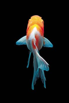 Pretty Fish, Beautiful Fish, Goldfish Pond, Fishing Pictures, Fish Drawings, All About Animals, Ocean Creatures, Colorful Fish, Fish Art