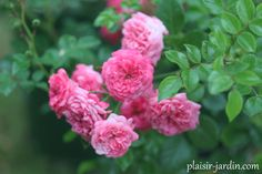 Le rosier Pepita