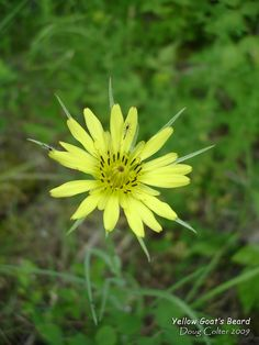 Meadow Salsify Aka Showy goat's beard or Yellow Goat's beard (Tragopogon pratensis) •Family: Aster (Asteraceae •Habitat: fields, roadsides •Height: 1-3 feet •Flower size: flowerheads 1-1/2 to 2 inches across •Flower color: yellow •Flowering time: June to October  • Photo by Doug Colter