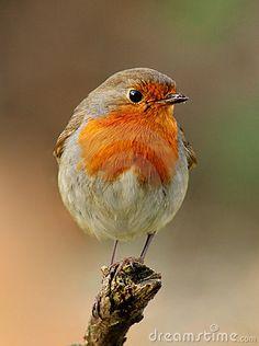 Robin, beautyful bird with reddish-orange face and breast, looking around.