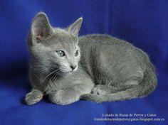 El Azul Ruso es considerado el más aristocrático de los gatos. Es un gato de tamaño medio y de hermoso pelaje corto plateado, brillantes ojos verdes y de elegante caminar, son sin duda alguna sus mejores atributos físicos y, si además sumamos su carácter tranquilo y su suave voz, hallaremos la respuesta a tan bien merecido título. Es famoso por ser un gato inteligente y afectuoso, que disfruta el contacto con los humanos y es ideal para la vida en familia. (Russian Blue, Archangel Blues…