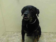 SAFE --- SUPER URGENT 05/07/14  Brooklyn Center    BRUNO aka TOBBY - A0998985    NEUTERED MALE, BLACK / BROWN, ROTTWEILER MIX, 10 yrs  STRAY - ONHOLDHERE, HOLD FOR ID Reason STRAY   Intake condition NONE Intake Date 05/07/2014, From NY 11236, DueOut Date 05/10/2014 https://www.facebook.com/Urgentdeathrowdogs/photos_stream