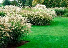 Пампасная трава: посадка и уход, размножение семенами