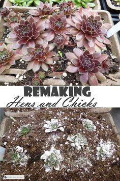 Remaking Hens and Chicks - keep your Sempervivum healthy and happy with these instructions... Gardening | Hardy Succulents