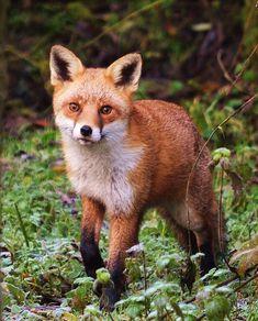 Domestic Fox, Le Husky, Fox Running, Funny Animals, Cute Animals, Wild Animals, Fox Totem, Fantastic Fox, Fox Pictures