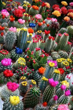 een cactus heeft meestal een groene kleur. een beetje saai. Maar op deze foto zie je al die vrolijke bloemetjes op de cactussen bij elkaar. de kleuren inspireren mij. Cactus Y Suculentas, Cacti And Succulents, Cacti Garden, Flowering Succulents, Succulent Terrarium, Blooming Succulents, Succulent Seeds, Blooming Flowers, Lavender Flowers