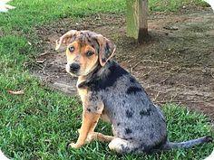 Preston, CT - Black Mouth Cur/Catahoula Leopard Dog Mix. Meet Pebbles a Puppy for Adoption.