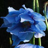 Meconopsis lingholm plant world doubles