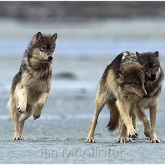 Play and competition among our wolf brothers and sisters. Fun to watch!
