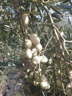 Λευκές ελιές: Μια σπάνια ποικιλία ελιάς με καταγωγή από τα αρχαία χρόνια – My Review