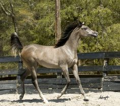 "Amirah Scapina  (Scapa x Bint Princess Shawra)  2010 Straight Egyptian Filly  Egyptian Event Winner & Class ""A"" Res. Jr. Champ!"