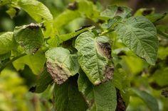 O picătură de iod și nu-ți vei recunoaște grădina! Acesta este un remediu împotriva fitoftorozei, mucegaiului alb și dăunătorilor. - Fasingur Growing Vegetables, Vegetable Garden, Planting Flowers, Plant Leaves, Fruit, Gardening, Colorado, Agriculture, Green