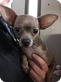 Frederick Md Chihuahua Mix Meet Ahava A Dog For Adoption