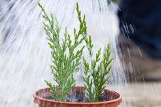 Skrášlite si záhradu a vypestujte sivlastný ihličnan ako napríklad Tuju. Ako? Zaobstarajte si polozrelú tohtoročnú vetvičku,... Herbs, Garden, Plants, Image, Compost, Garten, Lawn And Garden, Herb, Gardens