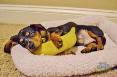 Gilbert loves snuggling with his banana :-)