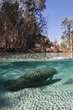 More Than 6,000 Endangered Manatees Counted In Annual Florida Survey