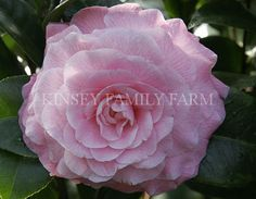 'Nuccio's Cameo' Camellia japonica. Soft pink formal flowers. Kinsey Family Farm Gainesville, GA.