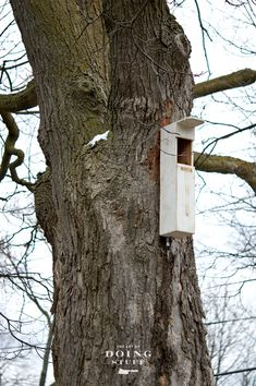 Screech Owls are the second smallest owls in North America, barely bigger than a Pint glass. They don't actually screech, they make a sort of horse whinny sound. They nest in tree cavities but you can attract these cute little owls to your yard, even in the city, by installing an owl box.