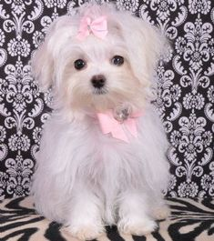 Teacup Maltese Princess2.4 lbs at 19 weeks!SOLD! Moving to Miami! #Maltese