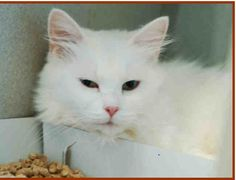 WOW!!!  This is Spoty (ID# A140015)    She is a  white Domestic Shorthair.  She is estimated to be 3 years old.  Spoty arrived at the shelter  on  July 31, 2012.  Shelter Staff made the following comments about this animal:   SPOTY'S ADOPTON FEE HAS BEEN FULLY SPONSORED ! HER ADOPTION FEE IS NOW ZERO!       Back For more information about this animal, call:  Orange County Animal Services at (919) 942-7387  Ask for information about animal ID number A140015  ***Pin added 11/13/2012 10:50 AM