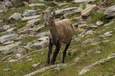 Young capricorn. The Alpes, France. Wild Animals, Kangaroo, Goats, Alps, Baby Bjorn, Wild Ones, Goat
