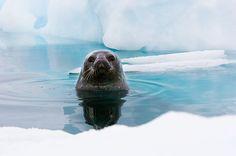 Weddell Seal_ Antarctica
