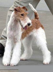 Xena Arenas, a female Wire Fox Terrier; the breed is known to Tintin fans as Snowy/Milou and to Poirot fans as Monsieur Bob; challengingly clever, hyperactive and scrappy of attitude, so though charming they are definitely not for everybody