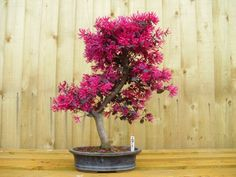 Loropetalum Bonsai Tree (no.271) allthingsbonsai.co.uk selection of bonsai gift sets and kits for beginners and enthusiasts.