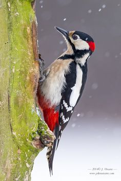Great Spotted Woodpecker by J. Uriarte