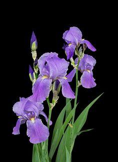 Iris Photograph - Purple Iris - Grape Scented by Patti Deters Purple Iris Flowers, Asian Flowers, Types Of Flowers, Felt Flowers, Beautiful Flowers, Planting Fruit Trees, Iris Art, Iris Painting, Iris Garden