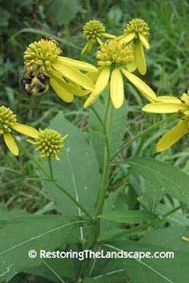 Wingstem ~ Verbesina alternifolia