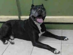 #A4788617 My name is Negro and I'm an approximately 9 year old male pit bull. I am not yet neutered. I have been at the Carson Animal Care Center since January 2, 2015. I am available on January 2, 2015. You can visit me at my temporary home at CRECEIVING.  https://www.facebook.com/171850219654287/photos/pb.171850219654287.-2207520000.1420275058./354501514722489/?type=3&theater