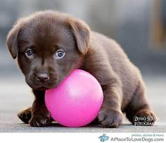 Baby chocolate lab~!  <3