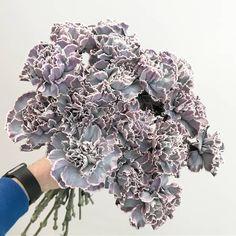 'Black Molly' Carnation Carnation Wedding Bouquet, Wedding Bouquets, Carnation Colors, Flower Chart, Purple Plants, Black Garden, Flower Names, Colorful Flowers, Cut Flowers