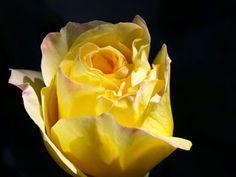 Rincon de Dalanyo: Rosa Amarilla