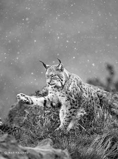 Lynx, Cantabria, Spain, Marina Cano Wildlife Photographer