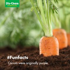 : Healthy eating ripe carrots in vegetable garden in nature Indoor Vegetable Gardening, Vegetable Garden Tips, Organic Gardening Tips, Planting Vegetables, Growing Vegetables, Fruits And Veggies, Container Gardening, Celery Plant, Agriculture Photos