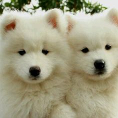 I want samoyed so badly!!
