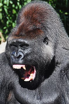 Silverback Gorilla----- Looks like a mean Mutha ( shut your mouth )....