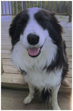 A Border Collie laughing :)
