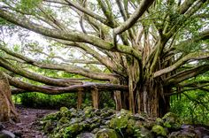Must see this tree in Hana, Hawaii.....it is awesome!! I love every bit of Maui.