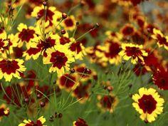 Tickseed- blooms mid-late summer. Needs full sun