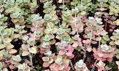 Crassula cordata Bonsai, Plants, Plant, Planets, String Garden