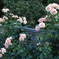 Follow these basic care tips to enjoy healthy, beautiful roses in your garden.