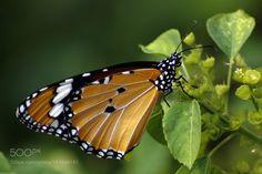 Butterfly by KarunaKaran #animals #animal #pet #pets #animales #animallovers #photooftheday #amazing #picoftheday