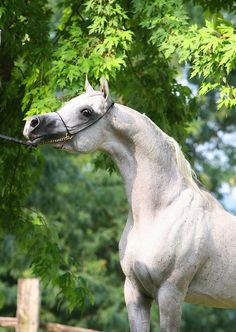 PHAAROS (ZT Faa'iq x Bint Atallah by Ruminaja Ali}) 2000 grey SE stallion bred by Black Wind Arabians, Texas - Strain: Saqlawi Jidran (descending from Ghazieh)