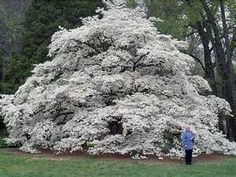 ✻⁓Cappi    ...Old and majestic Dogwood tree in Huntsville, Alabama.  nature's bridal bouquet!!!  Just awesome!