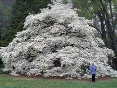 This Dogwood Tree is Amazing!