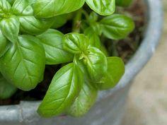 Yrttien kasvatus - Puutarha & kasvit - Yhteishyvä
